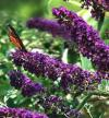 Buddleia davidii 'Black Knight' - Butterfly Bush