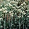 Allium tuberosum - Garlic Chives