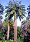 Jubaea chilensis - Chilean Wine Palm