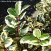 Ilex x meserveae 'Casanova' - blue holly, Meserve holly