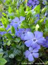 Vinca minor 'Bowles' - periwinkle