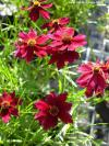 Coreopsis 'Ruby Port' - ticksead, thread-leaf coreopsis