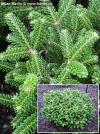 Abies koreana 'Oberon' - dwarf Korean fir