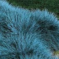 Festuca cinerea - Blue Fescue