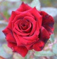 Rosa 'Red Masterpiece' - rosa
