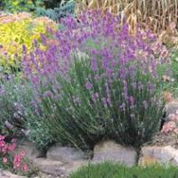 Lavandula angustifolia 'Munstead' - English Lavender