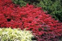 Euonymus alata 'Fire Ball' - Dwarf Burning Bush