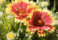 Gaillardia aristata 'Goblin' - Blanket Flower, Indian Blanket