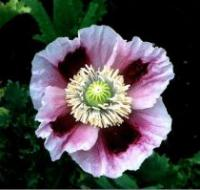 Papaver somniferum 'Hens and Chickens' - Opium Poppy