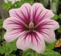 Malva sylvestris 'Zebrina' - French Hollyhock