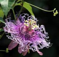 Passiflora 'Incense' - Passion Flower