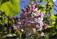 Syringa oblata - Early Lilac