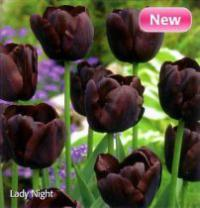Tulipa 'Lady Night' - Tulip