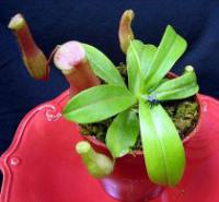 Nepenthes ventricosa - Nepenthes
