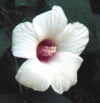 Hibiscus moscheutos 'Southern Belle' - Hardy Hibiscus