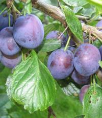 Prunus domestica 'Stanley' - plum tree