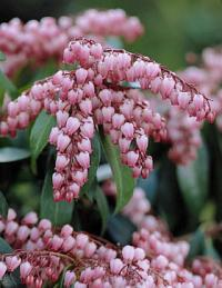 Pieris japonica 'Katsura' - lily of the valley
