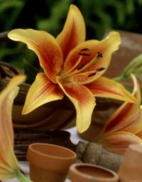 Lilium 'First Crown' - lily
