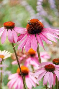 Echinacea purpurea Magnus - purple coneflower (PPH)