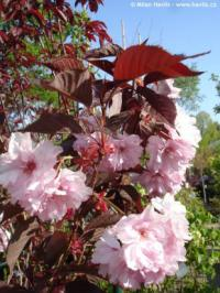 Prunus serrulata 'Royal burgundy' - flowering cherry