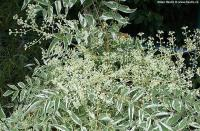 Aralia elata 'Silver umbrella' - Japanese angelica tree