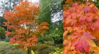 Acer japonicum - Amur maple