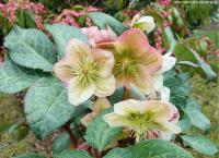 Helleborus 'Winter Moonbeam' - Lenten rose, hellebore