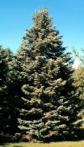 Abies concolor: White Fir