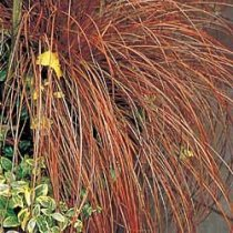 Bronze Carex