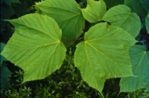 Acer pennsylvanicum: Striped Maple