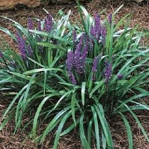 Liriope muscari 'Royal Purple' - liriope, border grass, lily-turf
