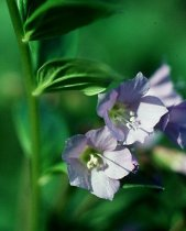 Polemonium reptans 'Blue Pearl' - Creeping Jacob's Ladder, Greek Valerian