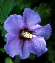 Hibiscus syriacus 'Blue Satin' - Rose of Sharon
