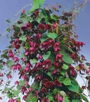 Rhodochiton atrosanguineum - Chinese Purple Bell