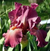 Iris 'Lady Friend' - Tall Bearded Iris