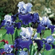 Iris 'Best Bet' - Tall Bearded Iris