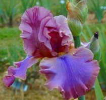 Iris 'Cantina' - Tall Bearded Iris