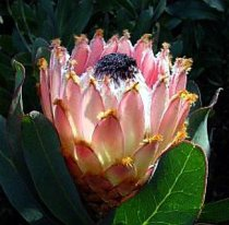 Protea magnifica 'Atlantic Queen' - Bearded Protea