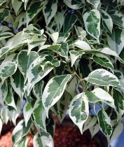 Ficus benjamina 'Starlight' - Weeping Fig