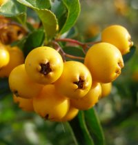 Pyracantha coccinea 'Soleil d´Or' - Golden Firethorn