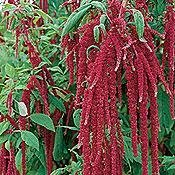 Amaranthus caudatus - Love-Lies-Bleeding: 2669