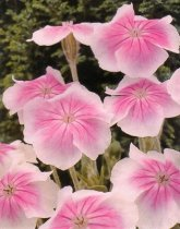 Lychnis coronaria 'Angel's Blush' - Bloody Mary
