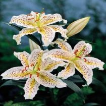 Lilium 'Lovely Girl' - Oriental Lily