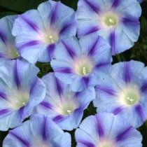 Ipomoea purpurea Light Blue Star - Morning Glory: 3037