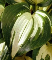 Hosta 'Lakeside Cupcake' - Hosta