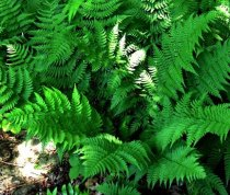 Dryopteris marginalis - Leather Wood Fern