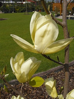 Magnolia 'Yellow River' - Yellow River magnolia