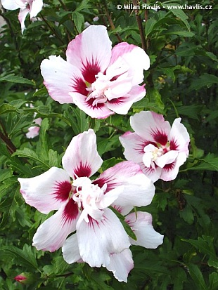 hibiscus syriacus lady stanley rose of sharon. Black Bedroom Furniture Sets. Home Design Ideas