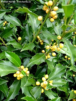 Ilex x meserveae 'Mesgolg' GOLDEN GIRL® - blue holly, Meserve holly