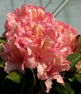 Rhododendron 'Brasilia' INKARHO® - rhododendron